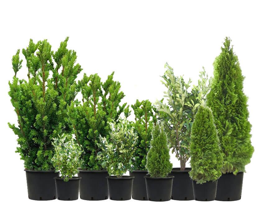 Gartenbestellen Aktion Heckenpflanzen